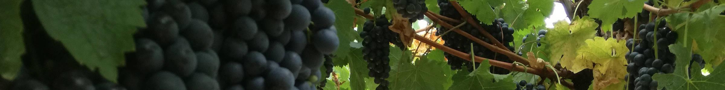 Le uve delle nostre viti