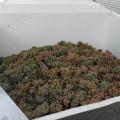 Raccolta uva Bianca Vigneto il Vecchio Gelso